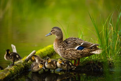 Mother duck and ducklings at side of pond