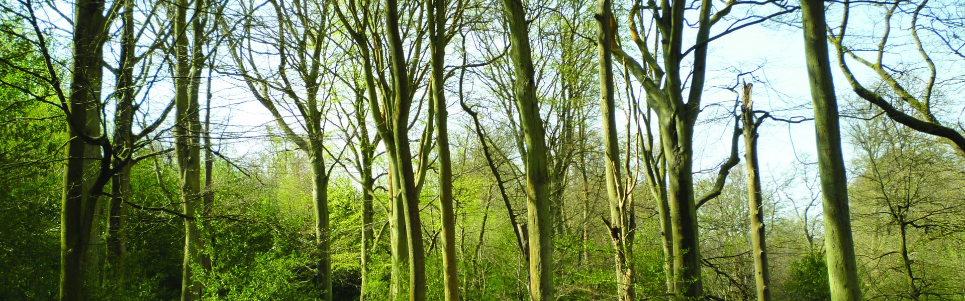 Beeches of Whortleberry Wood, Southborough Common