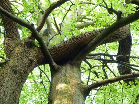 Interlocking Beech and Birch Trees, Southborough Common
